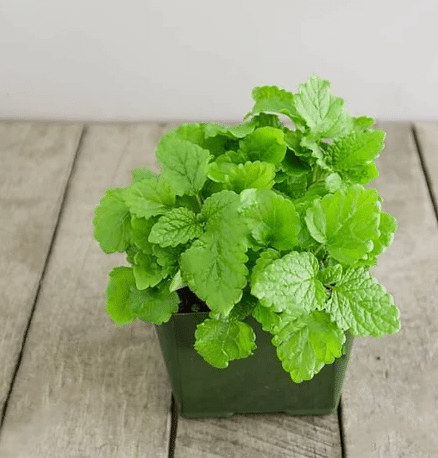 best plants for home office - lemon balm