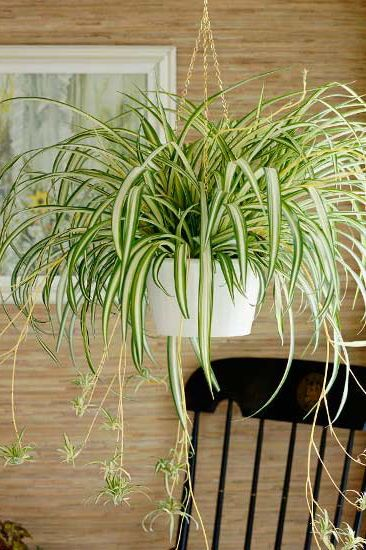 spider plant for home office